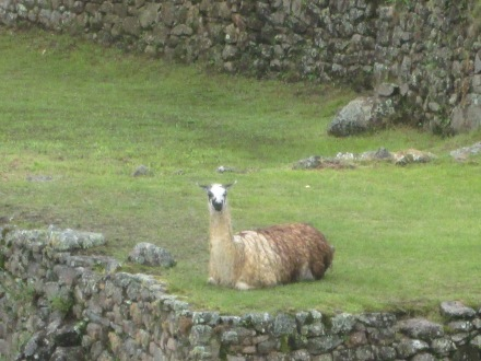 Llamas relaxing in a garden